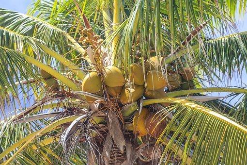 kokos 1