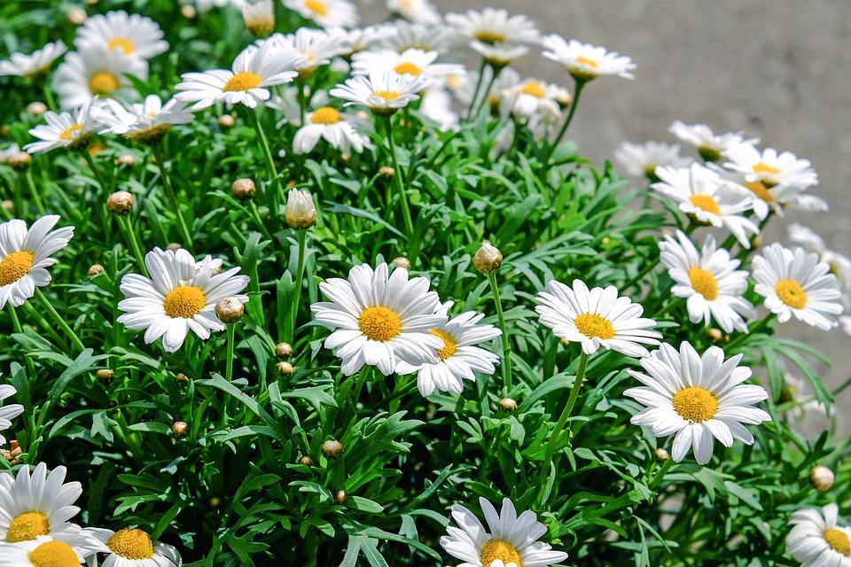 kopretiny na zahradě